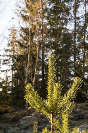 Pine tree growth, a sunlit young pine tree top in a forest Stock Photo