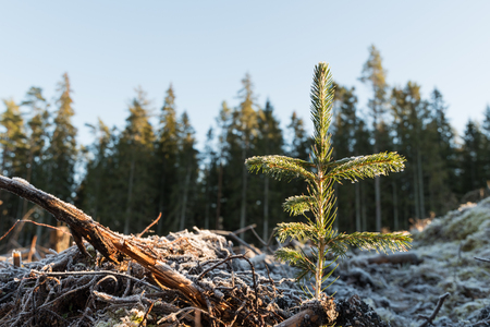 Newly planted spruce seedling on a frozen ground