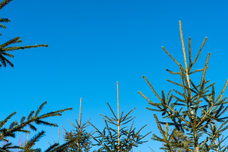 Tops of growing young spruce trees by a blue sky with copy space