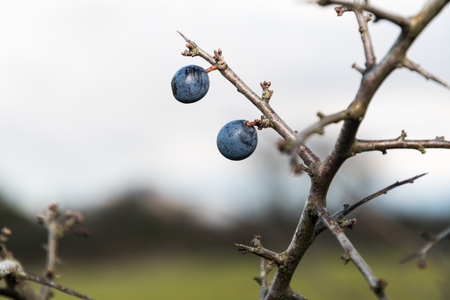 Ripe blackthorn berries on a thorny twig close up