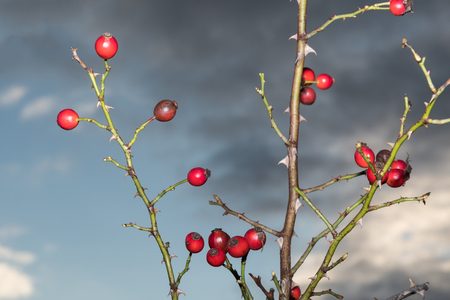 Ripe illuminated rosehips on thorny twigs Stock Photo