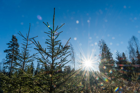 Spruce plants under a blue sky with a sparkling sun and sunbeams