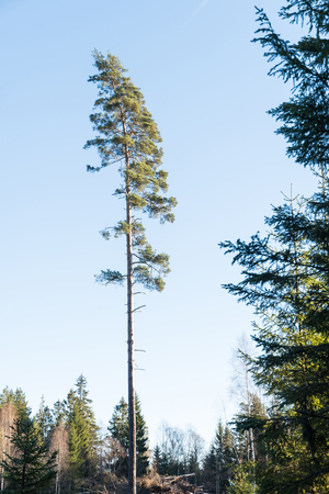 Single tall pine tree in a forest