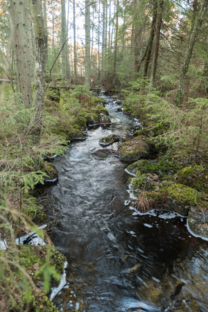 Small winding creek in an unspoiled coniferous forest