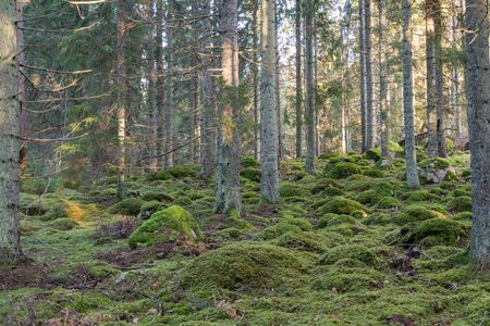 Green coniferous forest with moss covered rocky ground Stock Photo