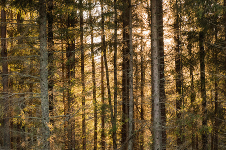 Tree trunks in a coniferous forest with orange colored background Stock Photo