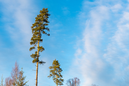 Tall pine tree tops by a blue sky with white clouds Stock Photo