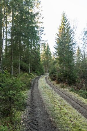 Mossy country road in a coniferous forest with tall spruce trees Stock Photo