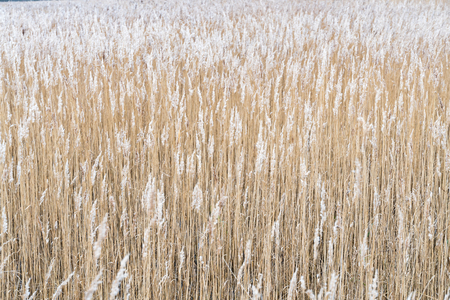 Background of fluffy dry reeds pattern