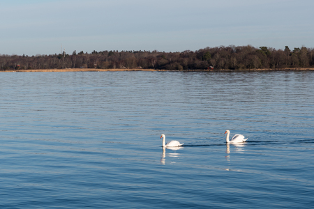 Couple graceful mute swans i a calm blue water