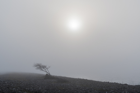 Windblown tree in a misty landscape
