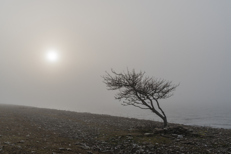 Lone windblown tree silhouette in the mist by the coast