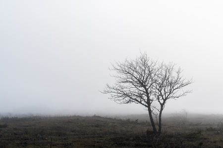 Lone bare tree in a unique foggy barren landscape called Alvar at the swedish island Oland