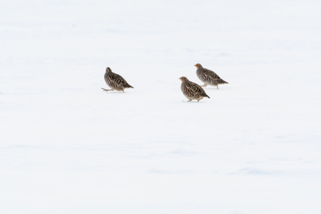 Three partridge birds looking for feed in a snowy field Stock Photo