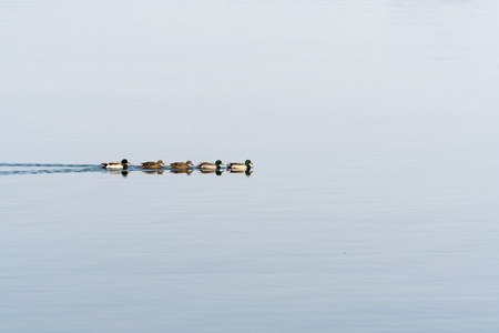 Colorful sunlit mallards swimming in a row in calm water