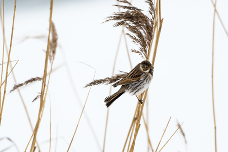 Male Reed Bunting on a reed stem with a white background