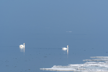 Mute swans in a calm water with melting ice by springtime Stock Photo