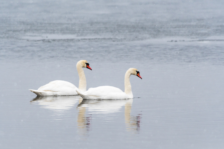 Graceful couple of Mute Swans in a calm water