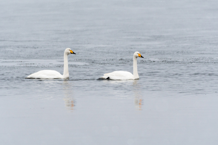 Graceful couple of Whooper Swans in an icy water