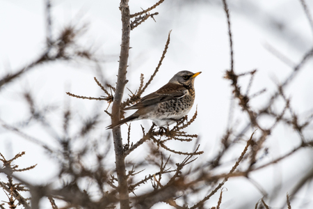 Fieldfare bird sitting on a twig