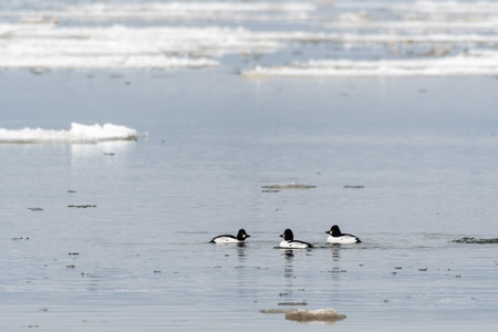 Small group with beautiful goldeneye ducks swimming in a water with ice floes Stock Photo