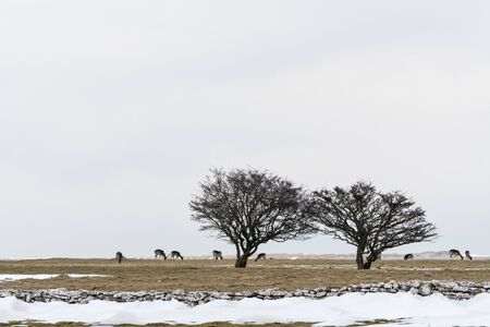 Group of grazing deers in a snowy landscape at the swedish island Oland Stock Photo