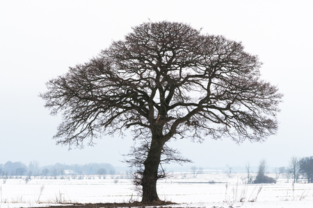 Big old oak tree silhouette in a winter landscape