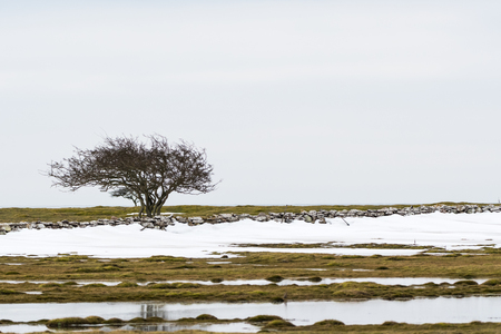 Lone tree by a stone wall in a landscape with melting snow at spring season