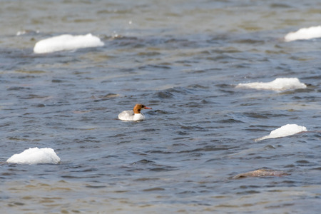 Female common merganser among ice floes in cold water