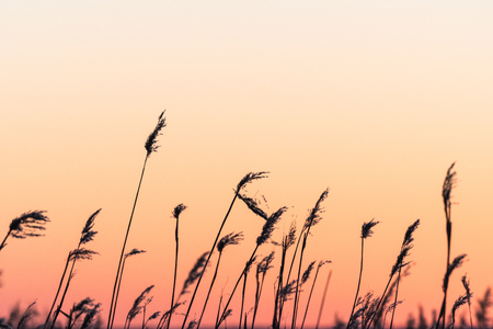 Fluffy dry reed flowers by a sky colored of the setting sun