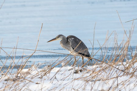 Gray heron standing in the reeds by a snowy coast