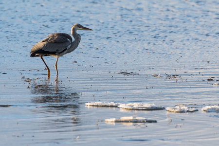 Early bird Grey Heron walking in a water with ice floes