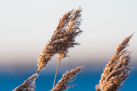 Dry fluffy and soft reed flowers by winter season Stock Photo