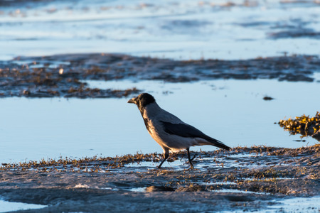 Hooded crow walking along the coast