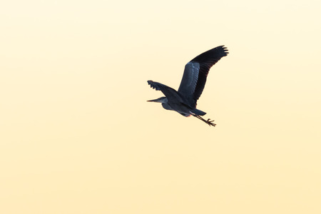 Grey heron in powerful flight by a colorful sky