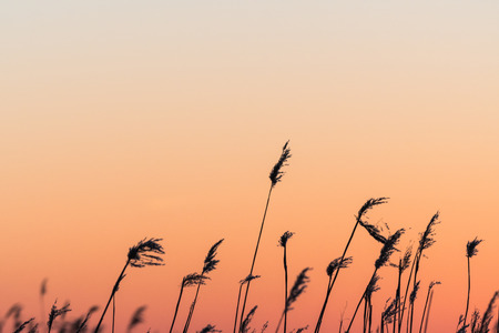 Silhouettes of fluffy reed flowers by a beautiful sunset colored sky Stock Photo