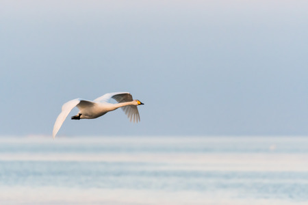 Single flying Whooper Swan by a bright blue background Stock Photo