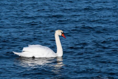Colorful and elegant Mute Swan swimming in blue water