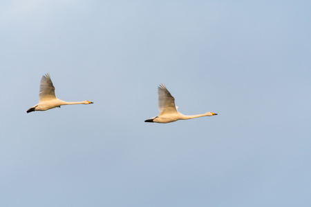 Couple Whooper Swans in beautiful flight by a bright blue sky Stock Photo