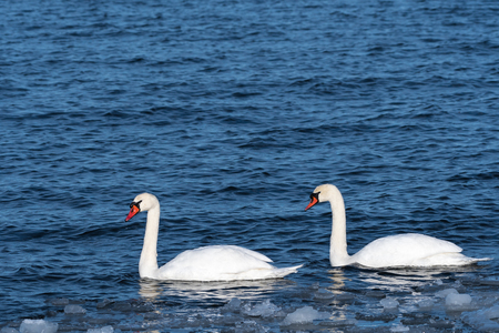 Couple sunlit Mute Swans in cold water with ice floes