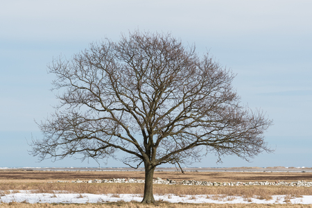 Solitude big bare oak tree in a great plain grassland