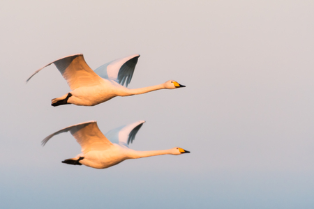 Beautiful flying couple of Whooper Swans in the early morning sunshine