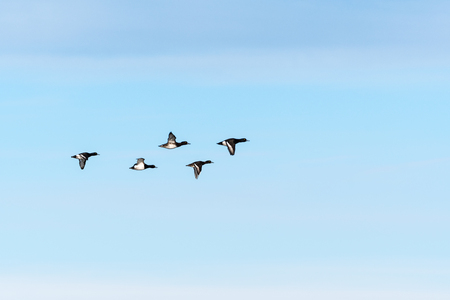 Tufted Ducks flying in migration formation by a blue sky