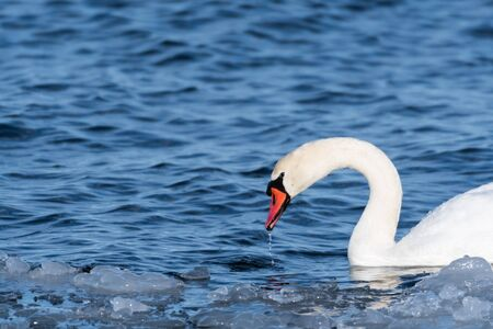 Portrait of a beautiful Mute Swan in cold water with floating ice