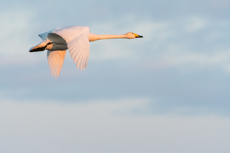 Flying beautiful Whooper Swan in early morning sunshine Stock Photo
