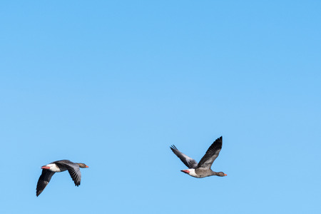 Migrating Greylag Goose couple by a blue sky at  spring season Stock Photo