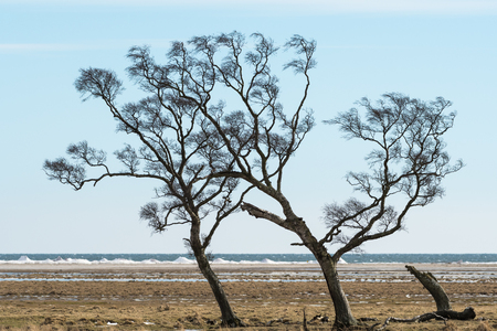 Windblown trees by the coast at the swedish island Oland in the Baltic Sea