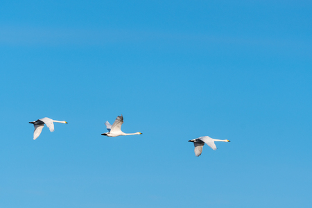 Migrating white whooper swans flying in a row by a blue sky