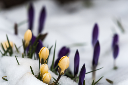 Yellow crocus flowers in a snowy flower bed