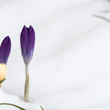 Closeup of a violet crocus flower in a snowy garden Stock Photo